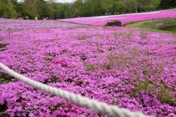 McDaniel's Cushion特點:桃紅色花瓣的大朵芝櫻