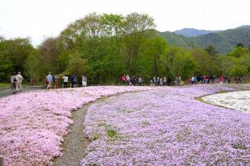 一片粉色紫色白色的芝櫻,有如澳寶石一般燦爛耀眼