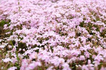 仔細看看,花瓣周圍鑲著白邊,粉紅色的條紋就好像是畫家細心描繪似的