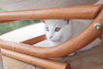 披著雪白毛髮的異色瞳貓-小町