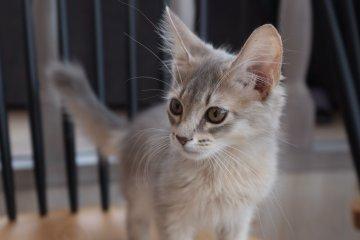 最年幼的索馬利貓Pikkoro