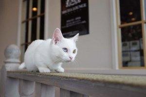 白色臘腸貓小町擁有一雙神秘又不可思議的異色瞳
