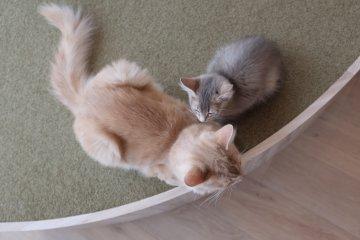 淑女貓Pikkoro和蓮的優美坐姿