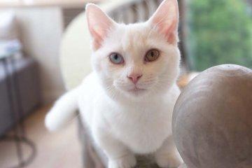 白色臘腸貓小町擁有一對迷人的眼瞳