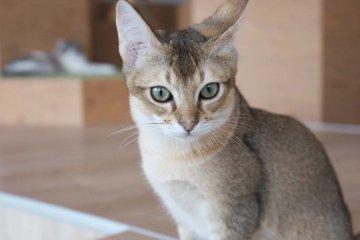 新加坡貓Kotetsu;混雜的咖啡色毛髮配上濃彩綠色鑽石一般的眼瞳
