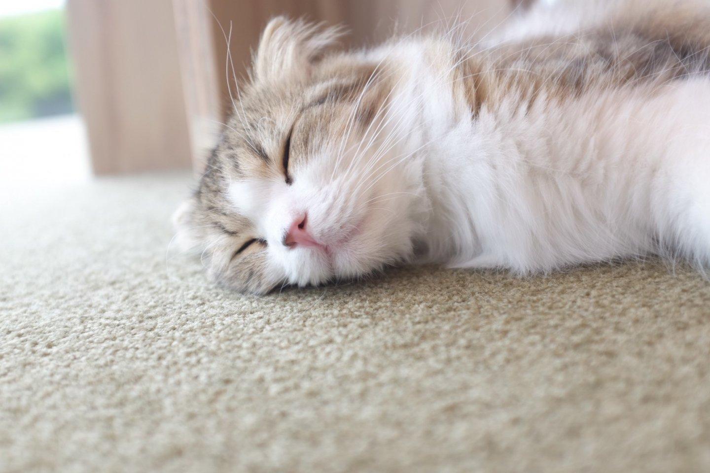 這隻蘇格蘭摺耳貓一路睡到底