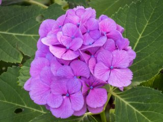 Interestingly, there are many different types of hydrangeas ranging in color and size