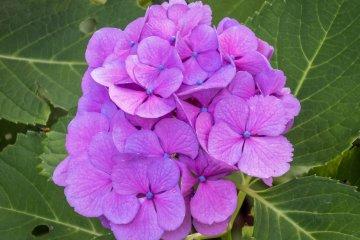Interesante ver que hay muchas clases distintas de hortensias en colores y tamaños