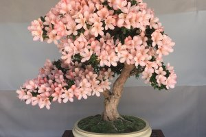 This bonsai is pretty in pink
