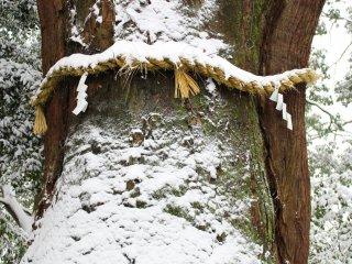 Ancient cedar tree with 'shimenawa' rope