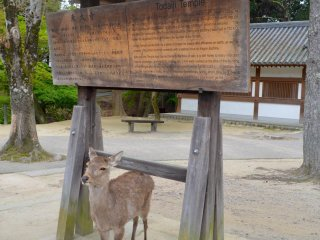 Con nai tại đền Todai-ji
