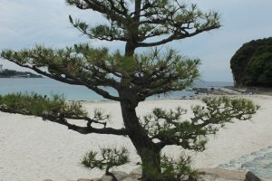 Beautiful pine trees on the beach
