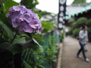 Plus de 3000 sont plantés autour du sanctuaire Hakusan