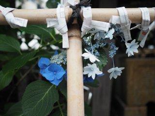Des hortensias bleus...