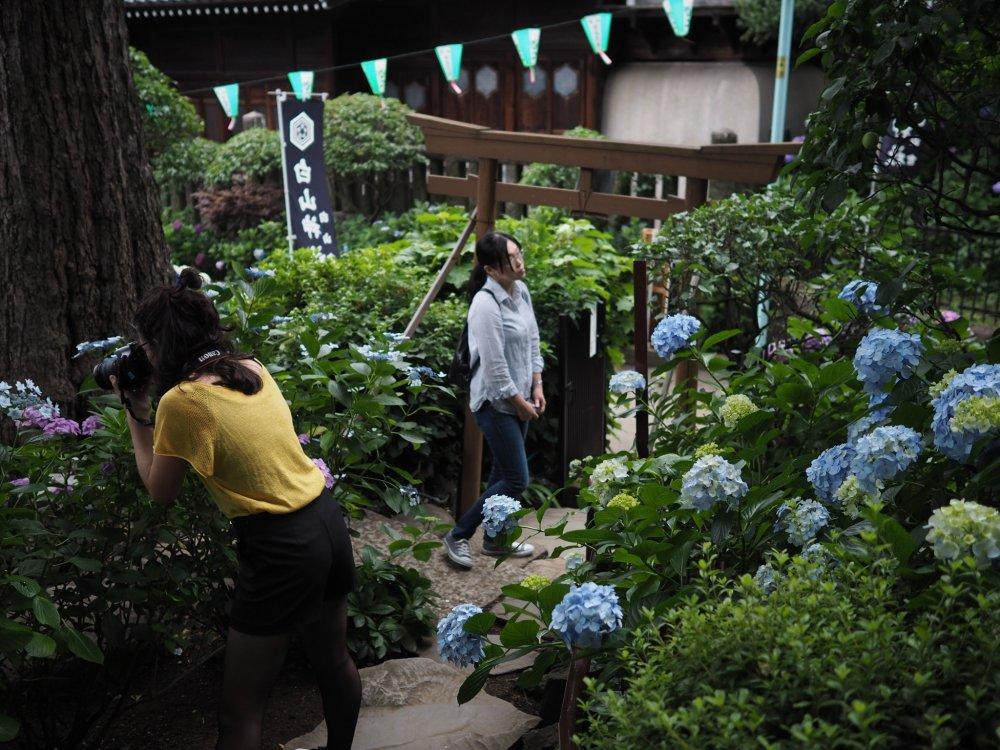 Les hortensias ont beaucoup de succès à l'occasion de l'Ajisai Matsuri