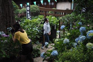 Le Bunkyo Ajisai Matsuri de Tokyo