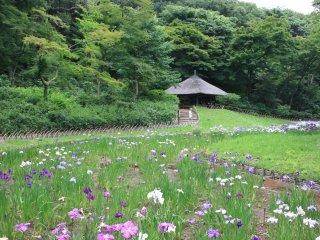 Le champ d'Iris