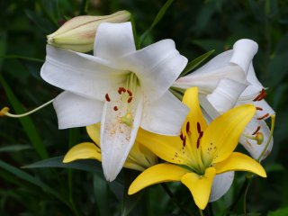 Yellow lilies in full bloom.