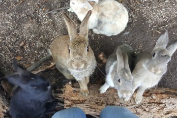 Okunoshima: Rabbit Island!