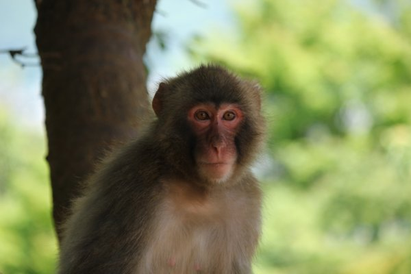 Mono macaco japonés.