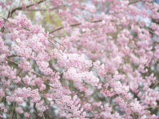 Make sure to try catch the blossoms at their peak, when the trees are covered in blossoms