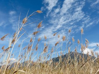 산들바람에 흔들리는 일본 팜파스