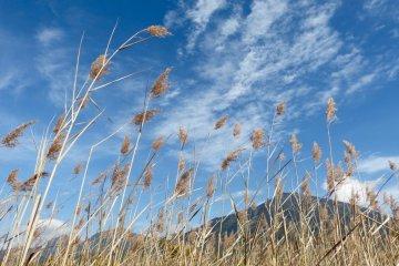随着微风飘动的小麦穗