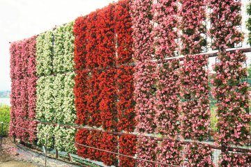 除了薰衣草田之外,另外一小區還有種植各種不同的花草。