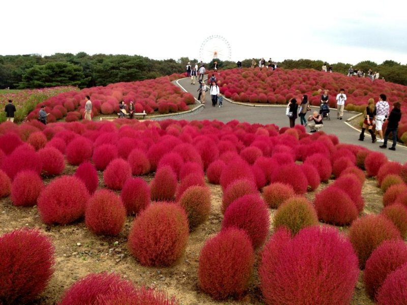 A red carpet with Kochia flowers