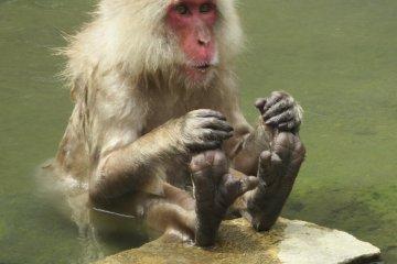 Monkey in onsen