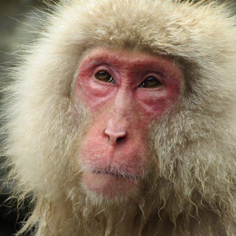 Парк обезьян Дзигокудани в Нагано