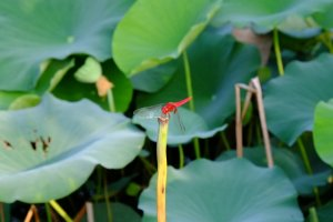 Brightly coloured dragonfly - one of many