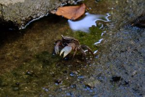 A mud crab