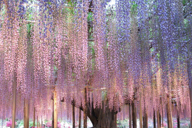 100-летнее дерево фудзи