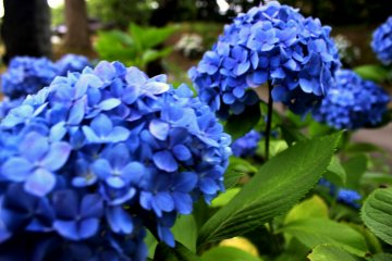Hydrangea in Akita flourishes in the summer