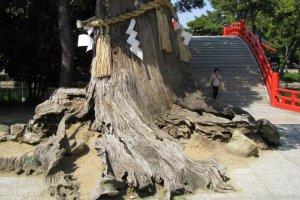 Священное старое дерево у входа