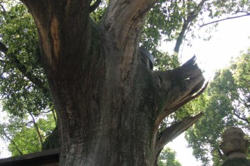 One of the sacred trees of Sumiyoshi Taisha