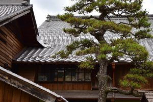 Aesthetic tree standing tall in the main Kimura House garden