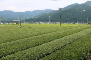 Tea fields near Shinryoku Sabō