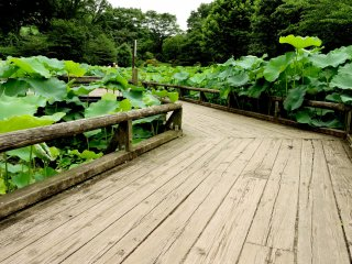 There are wooden walkways through the heart of the pond