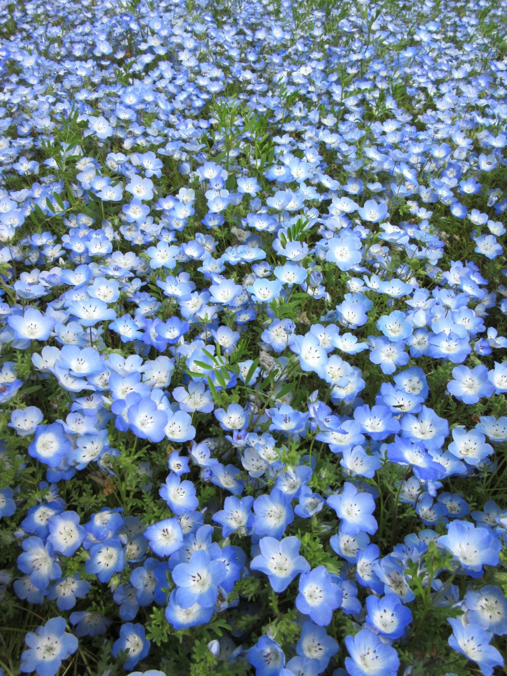 Némophiles bleus au parc Hitachi Seaside