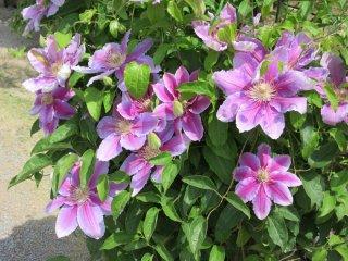 Les clématites du parc floral d'Ashikaga