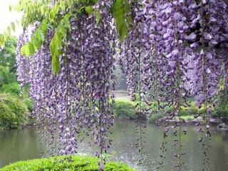 في حديقة شينجكو
