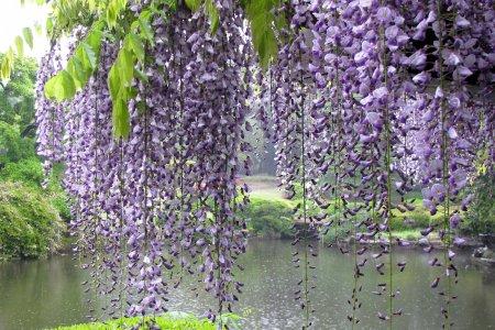 زهور اليابان
