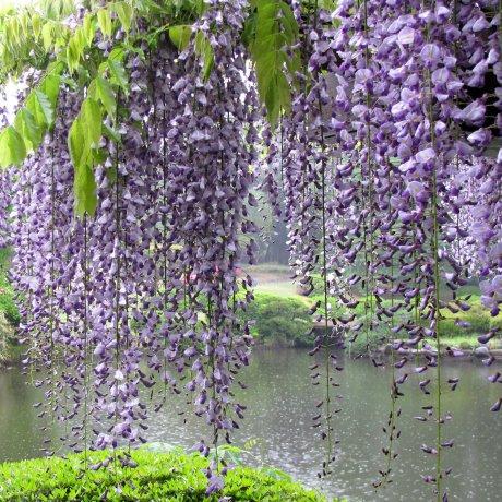Les Fleurs du Japon