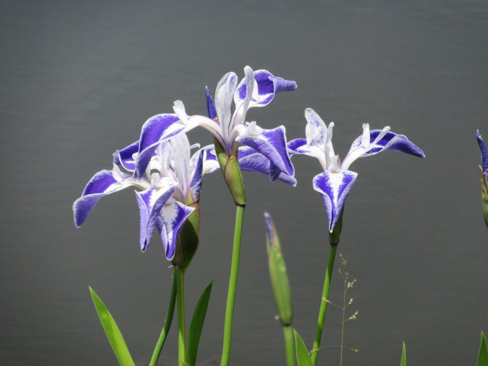 Les fleurs du japon tochigi japan travel pr parez for Dujardin imperial