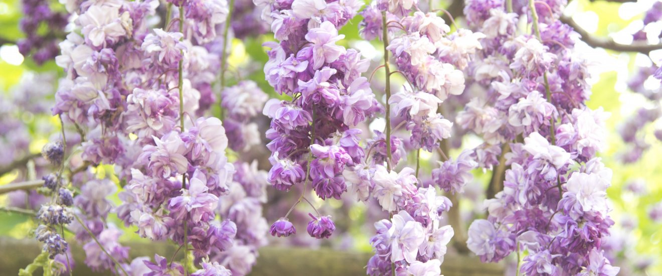 Beautiful wisteria in their prime during Golden Week