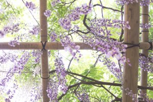 Magical view under the wisteria hanging on the trellis