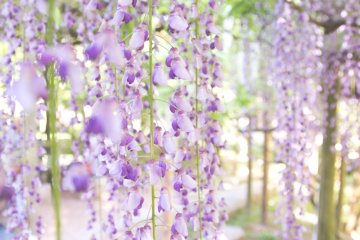 The hanging nature of the flowers turns them into amazing floral curtains