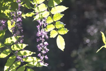 On a bright sunny day the vibrant purples of the wisteria are brought out even more